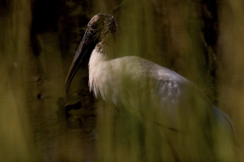 Wood Stork's Portrait