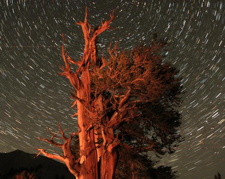 Star Trails over Bristlecone Pines