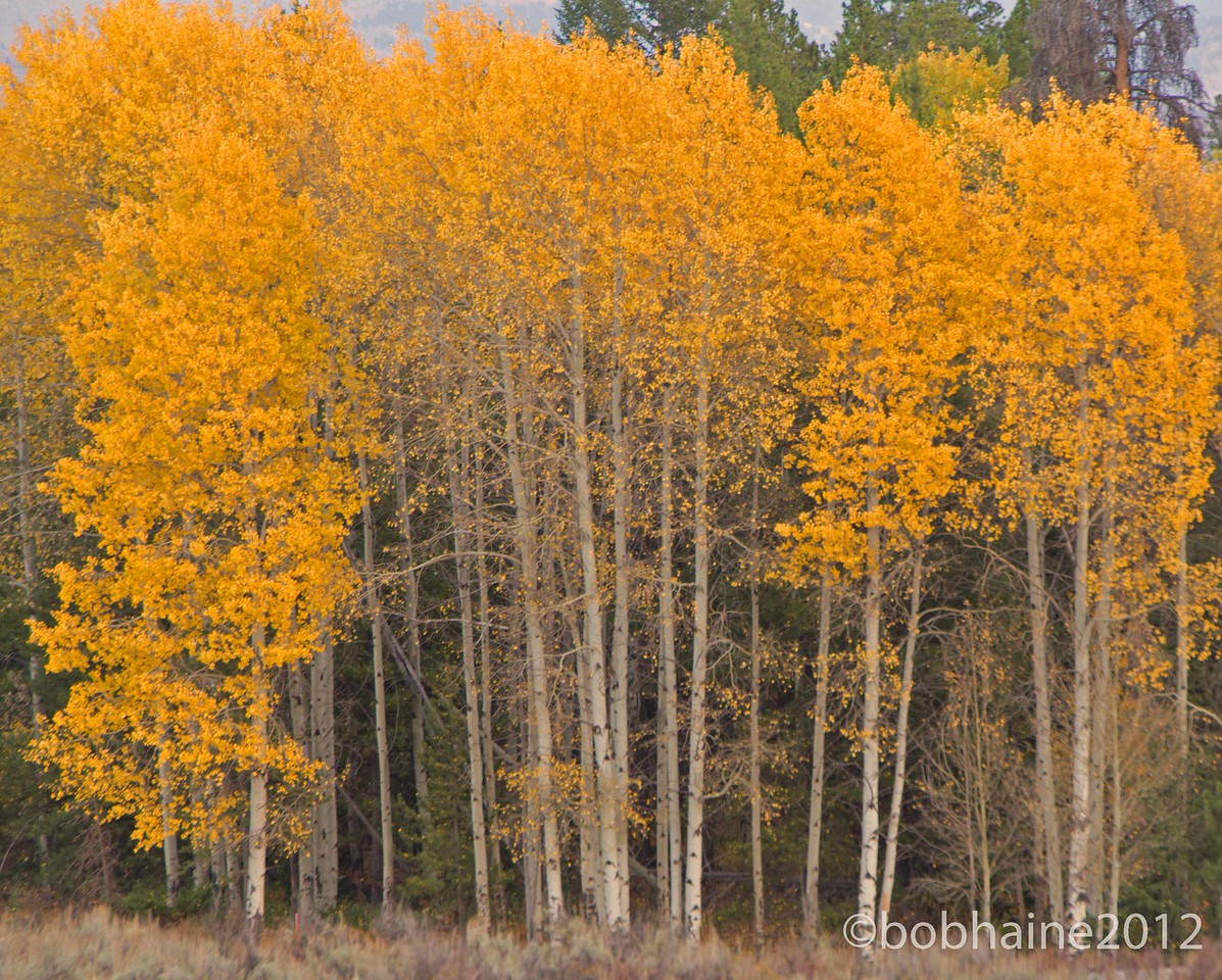Autumn trees in Grand Tetons National Park