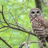 Barred Owl @ Whetstone Park - May 2015