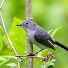 Blue-Gray Gnatcatcher @ Scioto Co, OH - May 2016