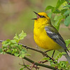 Blue-winged Warbler @ Hocking Co - May 2015