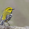 Black-throated Green Warbler @ Magee Marsh, May 2016