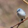 Blue-grey Gnatcatcher @ Shawnee State Forest - April 2015