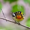 Blackburnian Warbler @ Magee Marsh SP, OH - May 2016