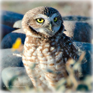 Burrowing Owl in Phoenix, AZ