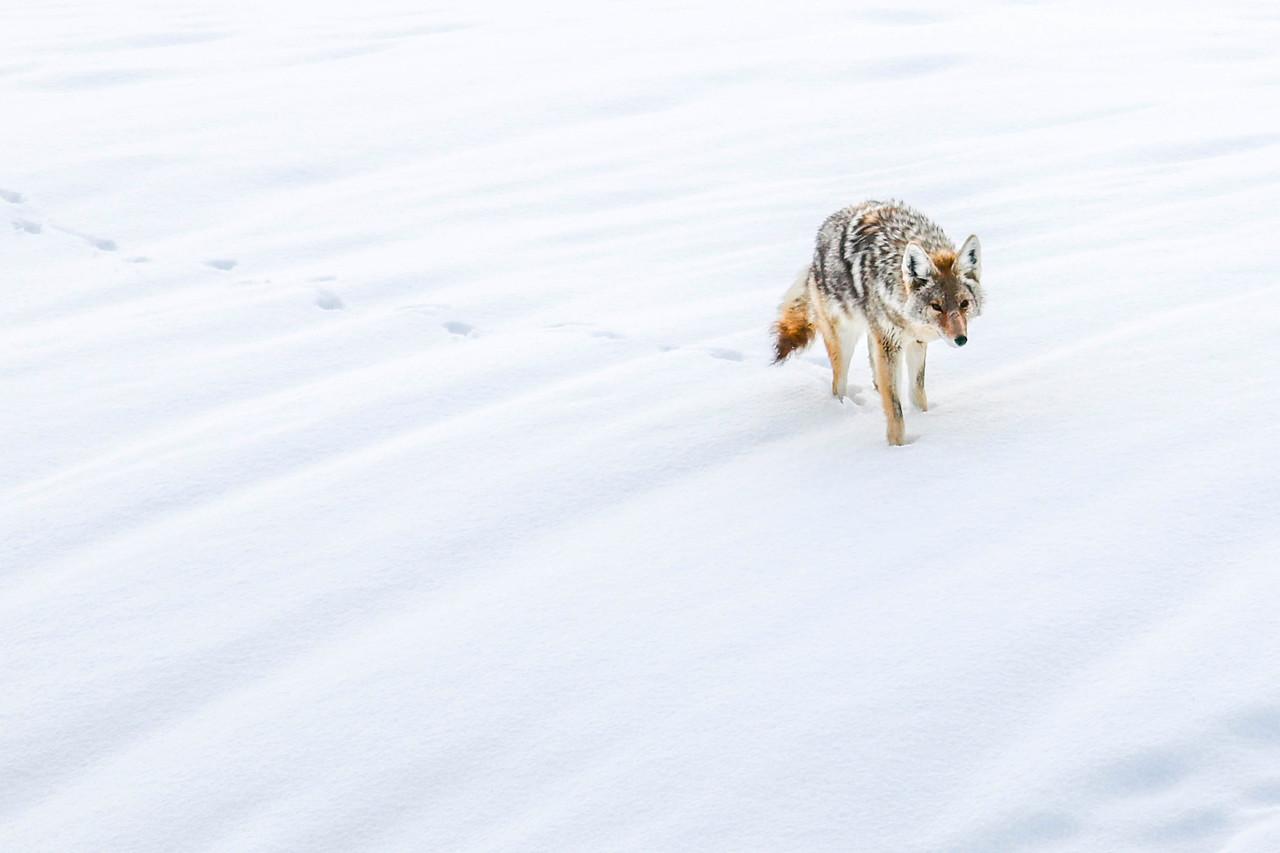 Wind Swept Coyote