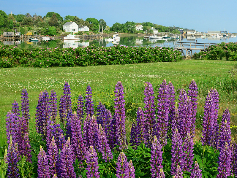 Cape Porpoise lupine