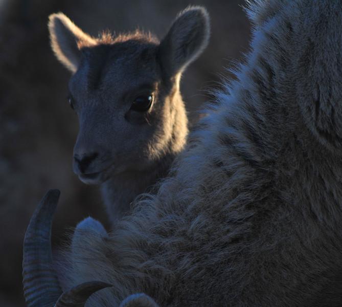 Bighorn Lamb, Mount Warren