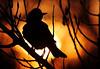 Robin, Sunrise on the South Platte