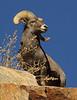 Bighorn Sheep, Colorado Trail