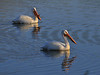 Pelicans, Chatfield Reservoir