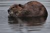 Beaver, South Platte River