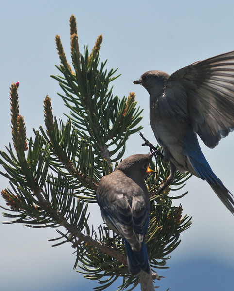 Mountain Bluebirds, Evergreen