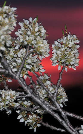 Blossomrise