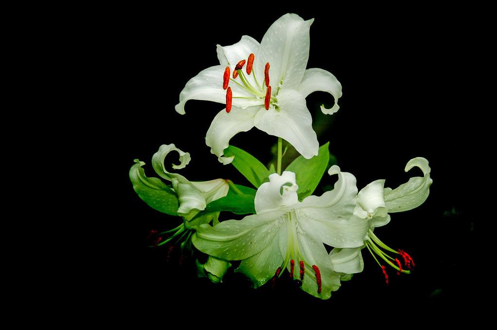 white lillies (1)
