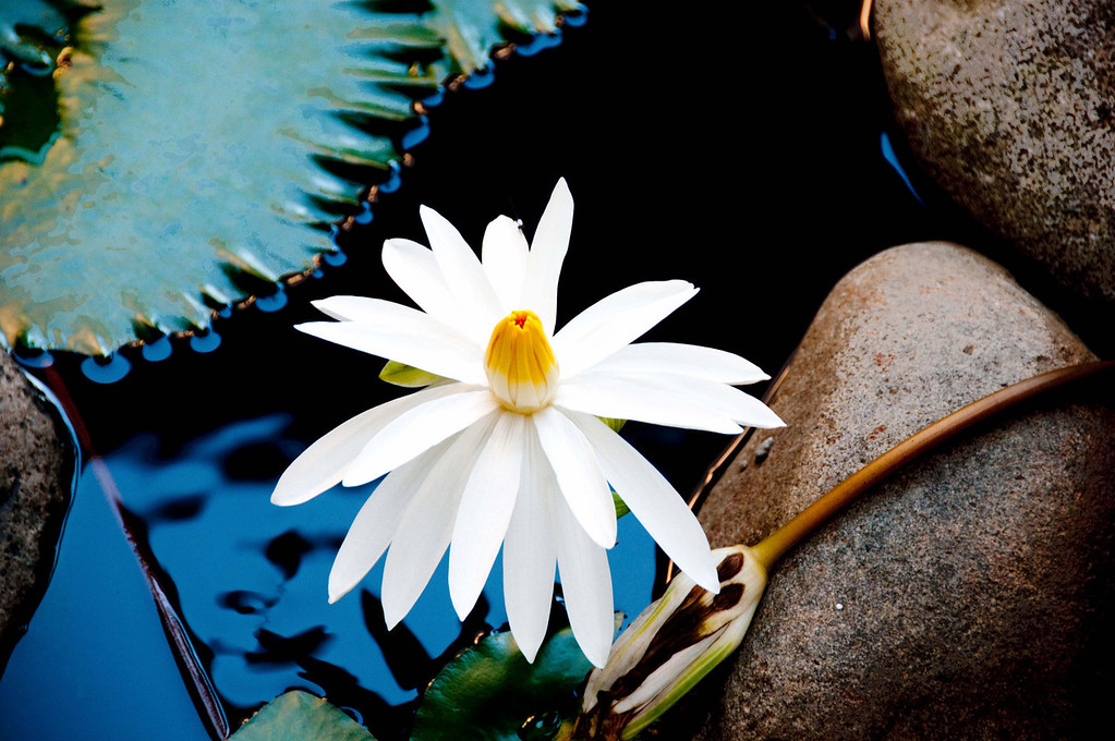 WATER LILLY IN FIJI