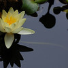 Elphinworks - 2011 Calender<br /> Cover photo - Water Lily - photos by Beth Girdler