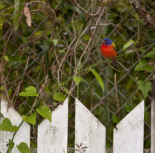 Painted Bunting in my backyard.  This was the first time I have seen a painted bunting.  What a thrill.