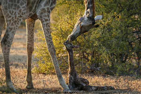Giraffe (Giraffa camelopardalis) giving birth. Northern Tuli Game Reserve.  Botswana. The Giraffe Giraffe gestation lasts 400–460 days, after which a single calf is usually born, although twins do occur on rare occasions. The mother gives birth standing up. The calf emerges head and front legs first, having broken through the fetal membranes, and falls to the ground, severing the umbilical cord. The mother then grooms the newborn and helps it stand up. A newborn giraffe is about 1.8 m tall. Within a few hours of birth, the calf can run around and is almost indistinguishable from a one-week-old. However, for the first 1–3 weeks, it spends most of its time hiding its coat pattern providing camouflage. The ossicones, which have lain flat while it was in the womb, become erect within a few days.