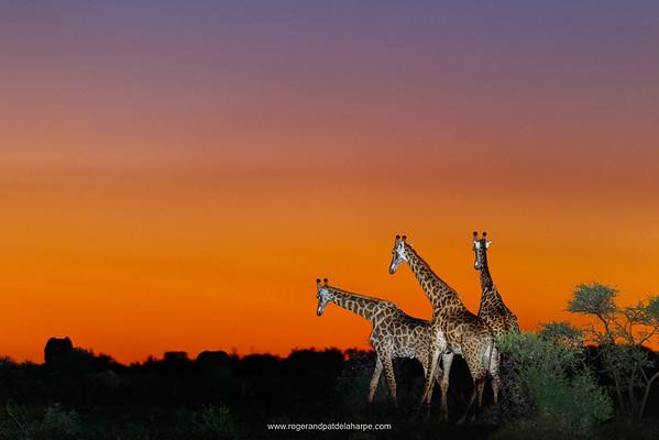 Photo Safari - Giraffe at Sunset