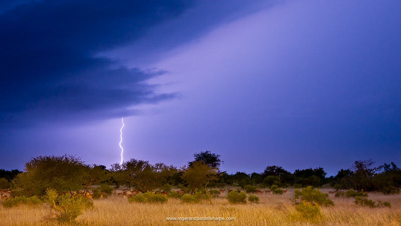 Impala (Aepyceros melampus) herd in veld with a lightning strike during a thunder storm. Timbavati Game Reserve. Limpopo Province. South Africa