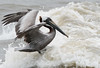 Birds-Pelicansurfer
