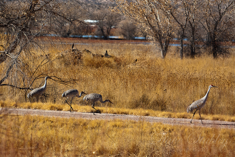 March of the Cranes - Bosque del Apache