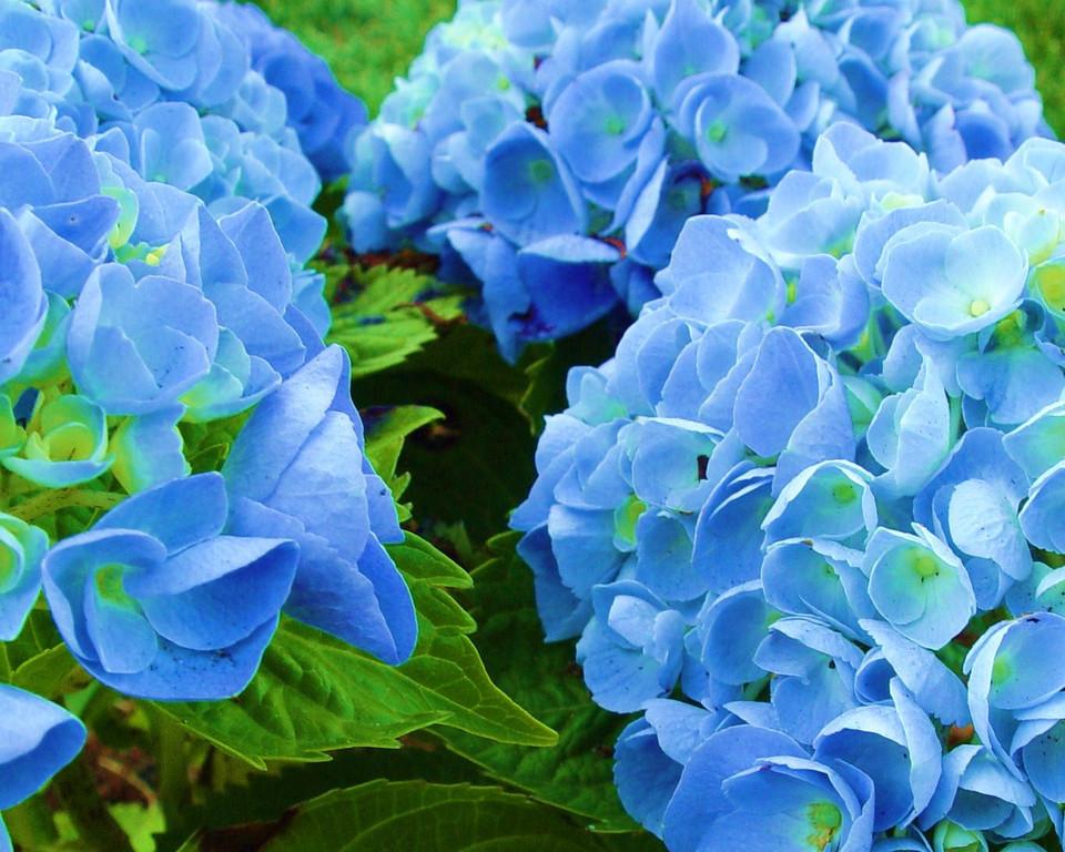 Blue Hydrangea    (DSC04702)