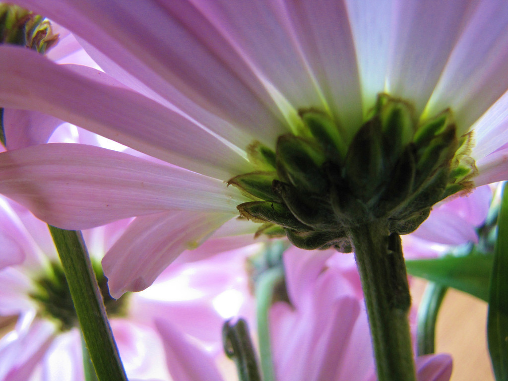 Aster    (IMG_9467)