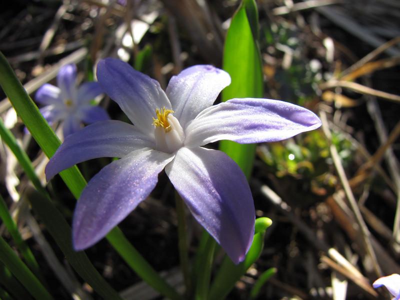 Miniature Iris    (IMG_6133)