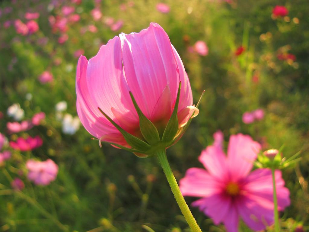 Wild Pink Cosmos    (pink)