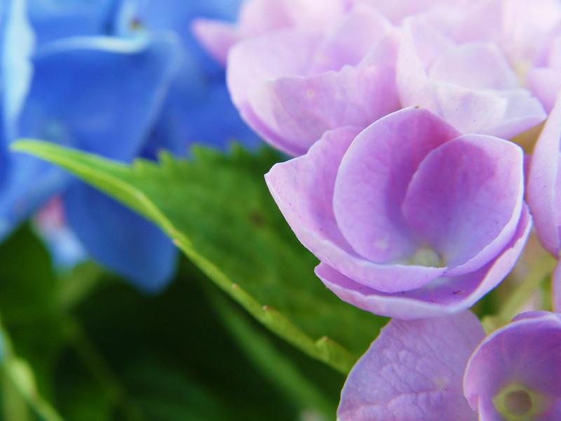 Purple Hydrangea    (DSC04713)
