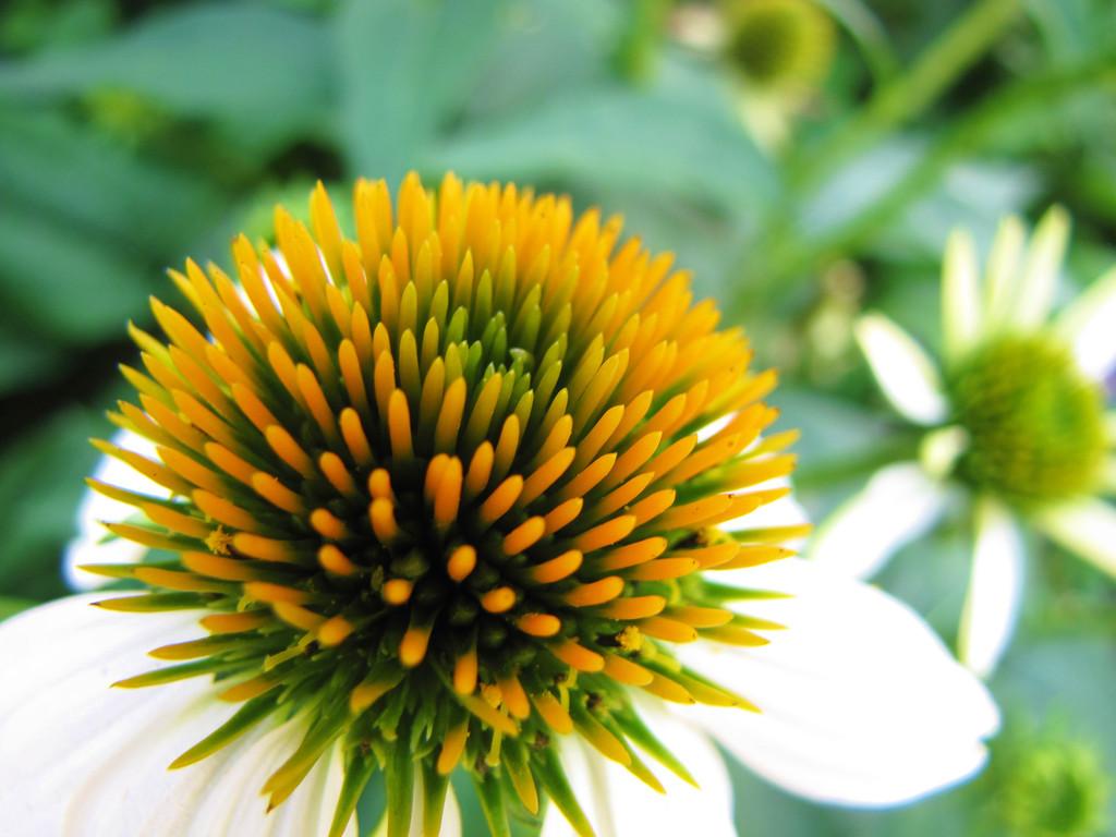 White Cone Flower     (IMG_9078)