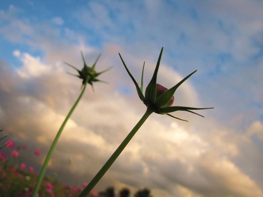 Pink Cosmos Buds