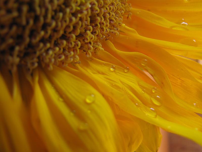 Sunflower    (IMG_9200)