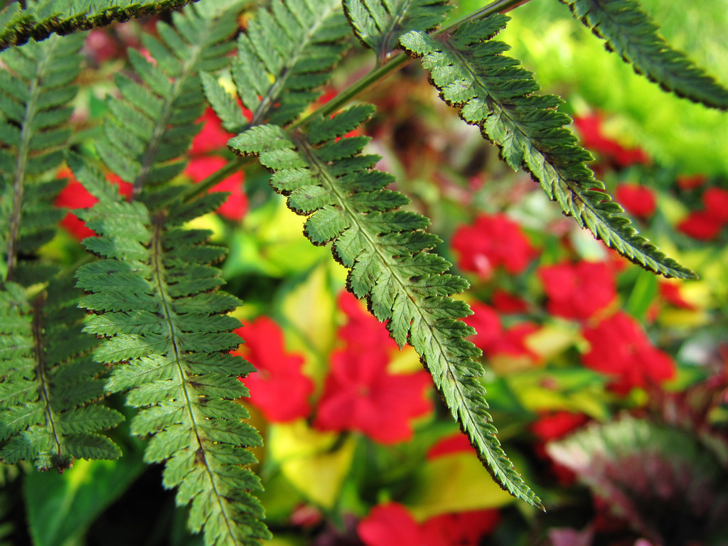 Fern with red sun impatiens    (IMG_9117)