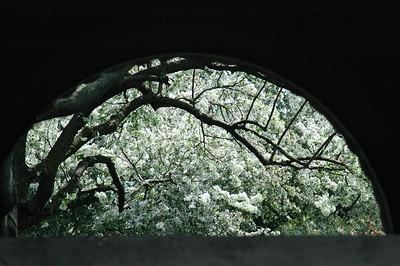 Keeneland paddock in blossom