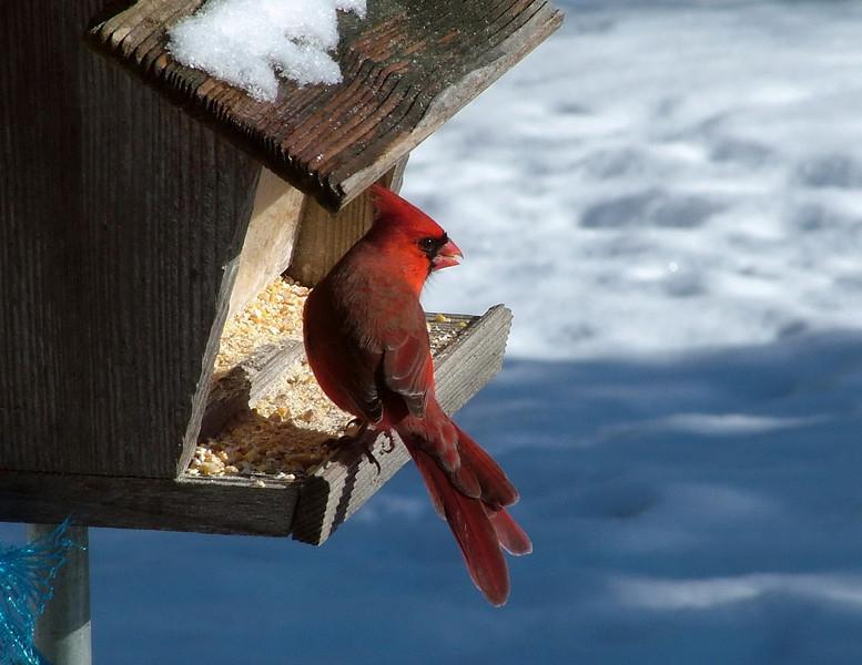 12DEC_5622_cardinal