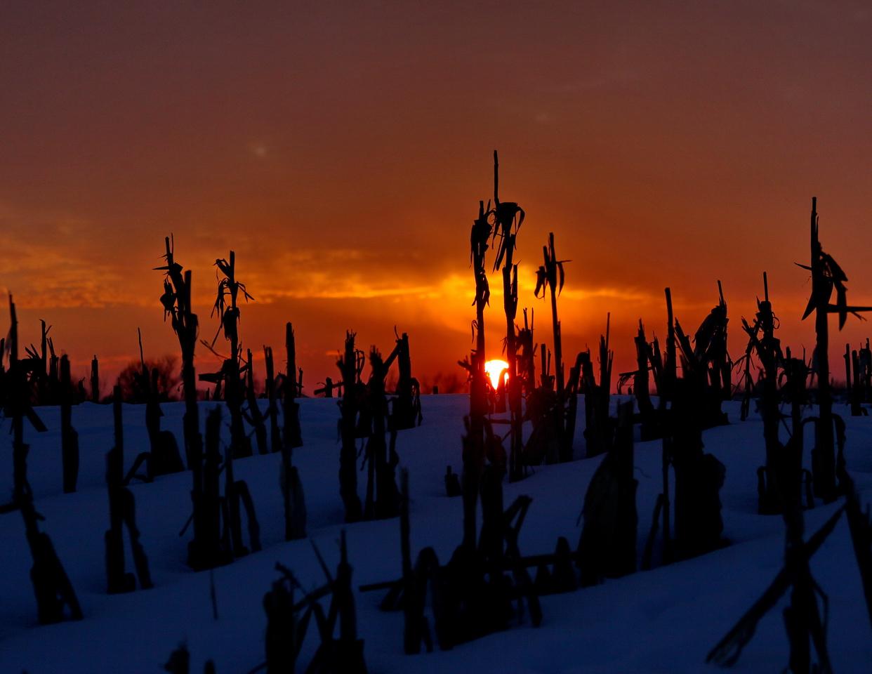 2January_2971x_sunset_cornstalks