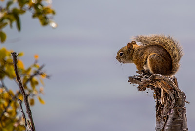 The Chatty Chipmunk