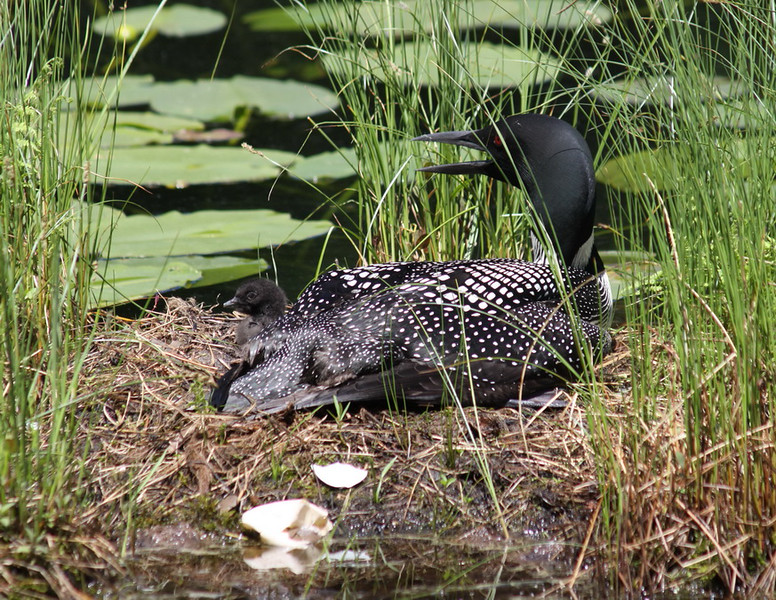7_July_IMG_9493_Loon_baby_resize
