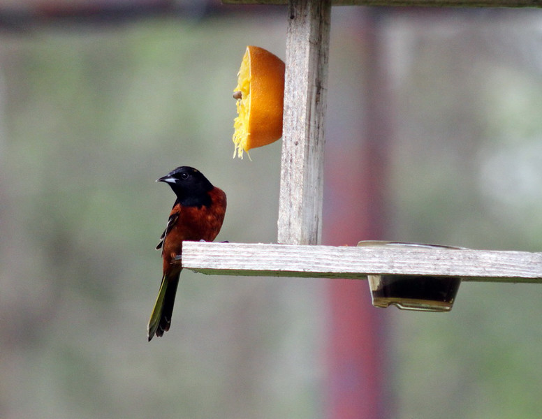 8_August_IMG_8680_Male_Orchard_Oreole_resize