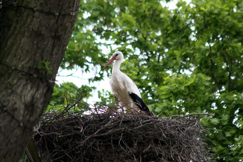 9_Aug_IMG_7976_Stork