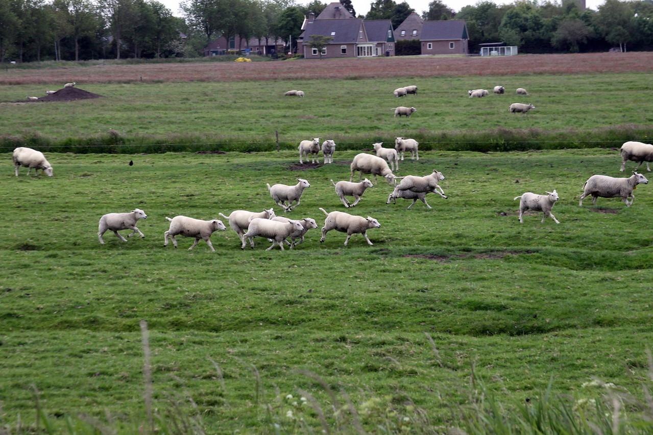 4_Mar_IMG_9117_Frolicking_sheep