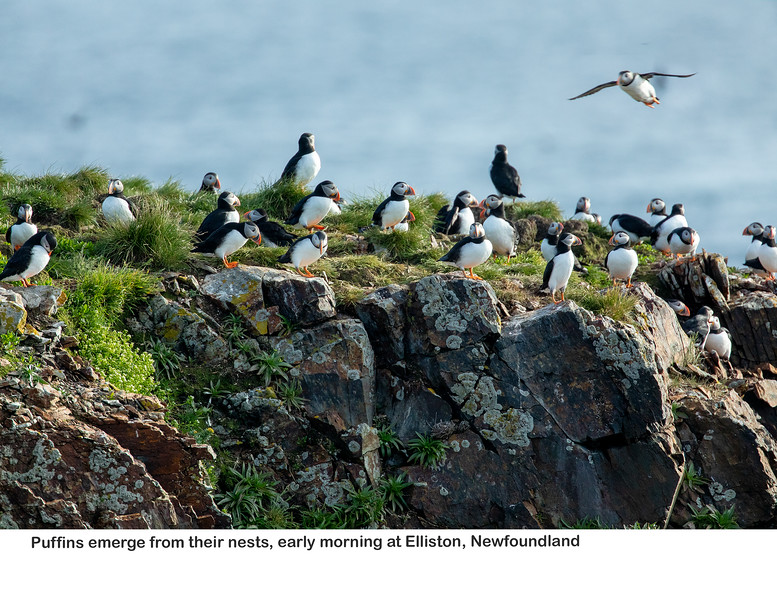 Finally, lots and lots of puffins to see!