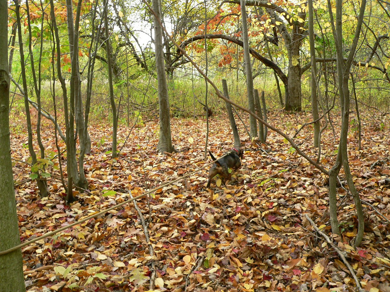 Bernie showed a good desire to track but he was too fast and not very focused. It was good to have a long blood trail to work with so we could actually evaluate Bernie's work as we were sure of where the deer went.