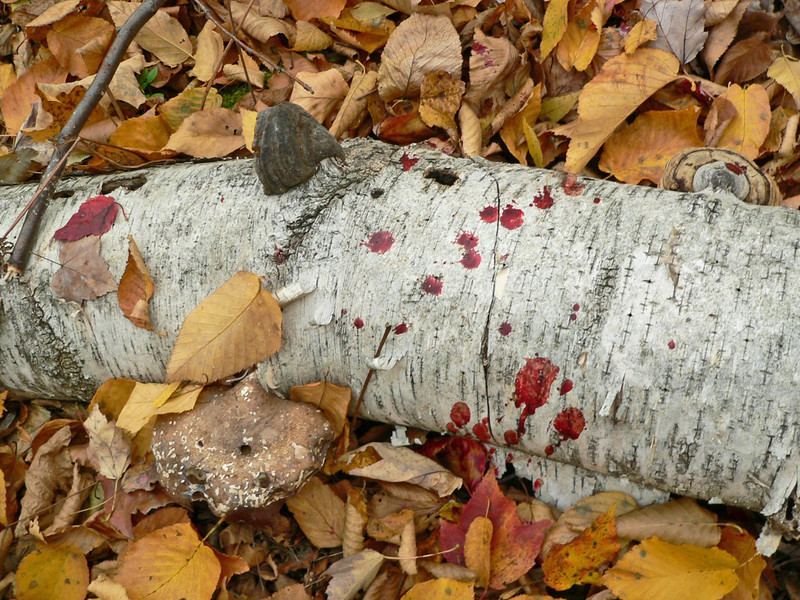 Then we saw quite a bit of blood on this birch trunk (fingers indicating the direction of track).