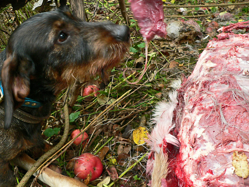 ...and getting a piece of venison. <br /> <br /> Good boy Billy!