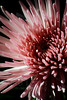 """Anemone<br /> <br /> Flower featured in """"A Year in Pink 2013 Calendar""""<br /> <br /> Flower pictured :: Spider Mum<br /> <br /> 030412_002928 ICC adobe 16in x 24in pic"""